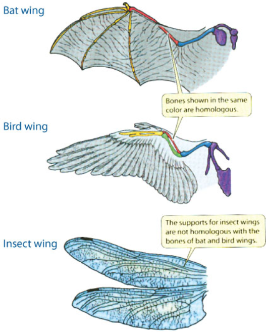 convergent evolution, e.g. wing of bat, bird, and insect