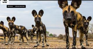 200128_183625_Microsoft Edge[dogs or hyenas 95]
